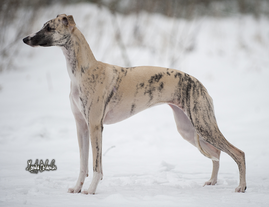 whippet Rhetsgis Hello Skylark Emoticon