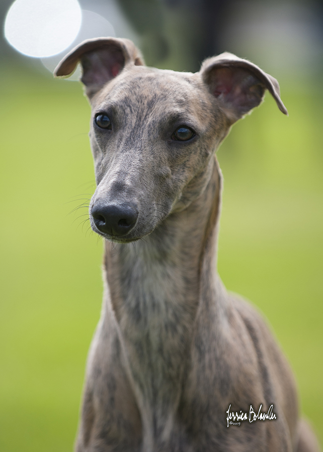 whippet Sinsline Ring Of Fire