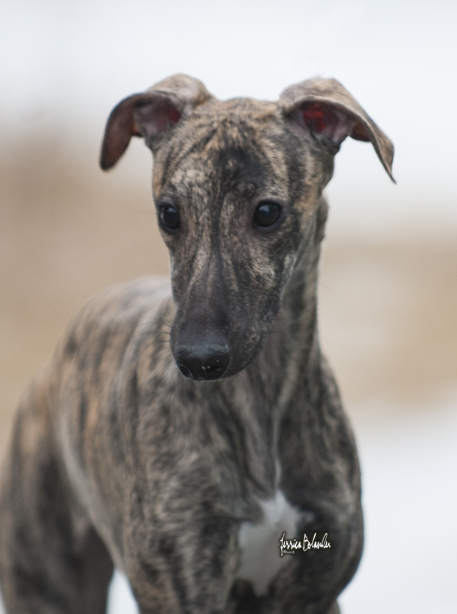 whippet Sinsline Rapsody In The Rain